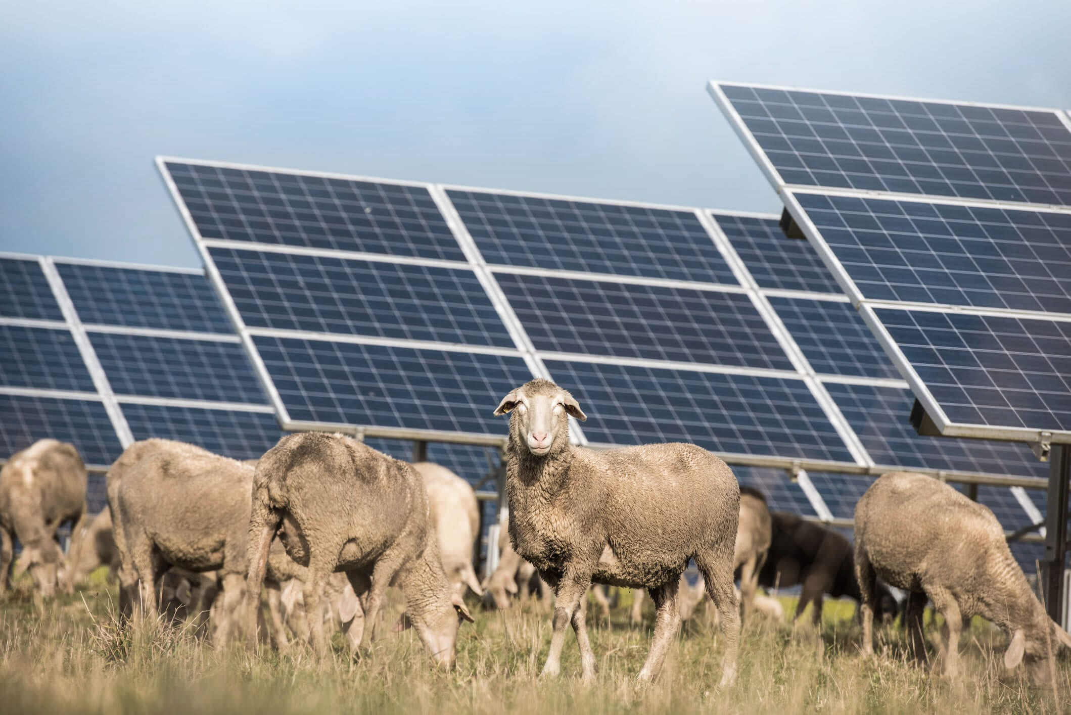 Solar With Sheep